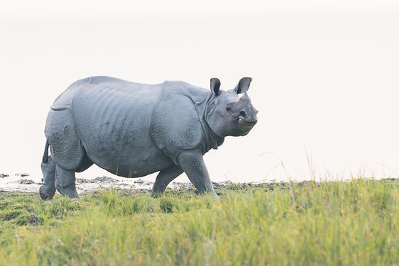 greater-one-horned-rhinoceros-assam-kazi