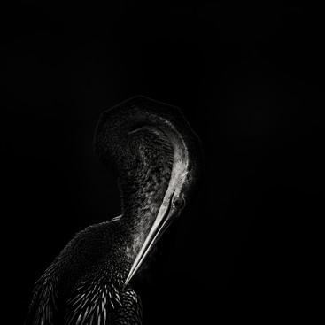 Portrait of a Snakebird