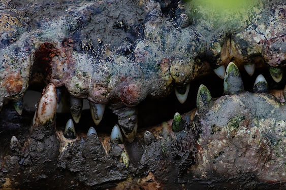 crocodile-jaws-sundarban-mangroves-swaro