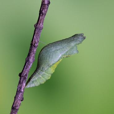 Common lime chrysalis