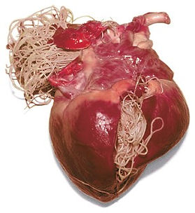 heartworm_heart2.jpg