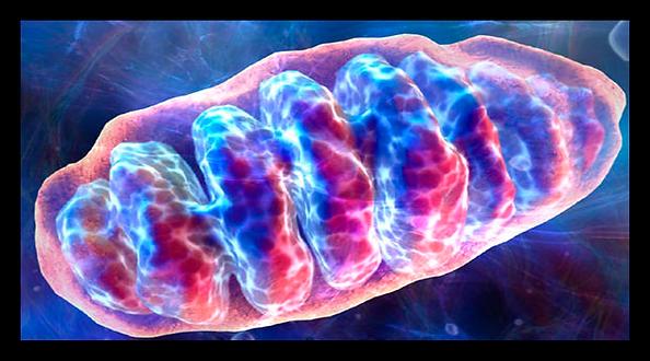 Mitocondria 3.png