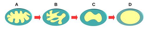 Mitocôndria.png