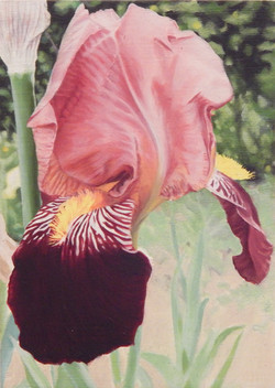 Iris Decora