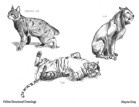 Feline Structural Drawings.png