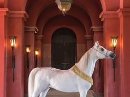 Arabian Stallion, Marrakech