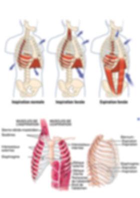 Muscles de la respiration.jpg