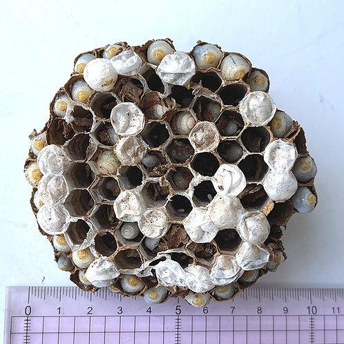コガタスズメバチの巣12(30匹以上)※一品もの