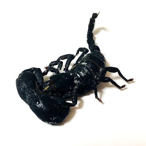 冷凍 ダイオウサソリ(Scorpion)1匹