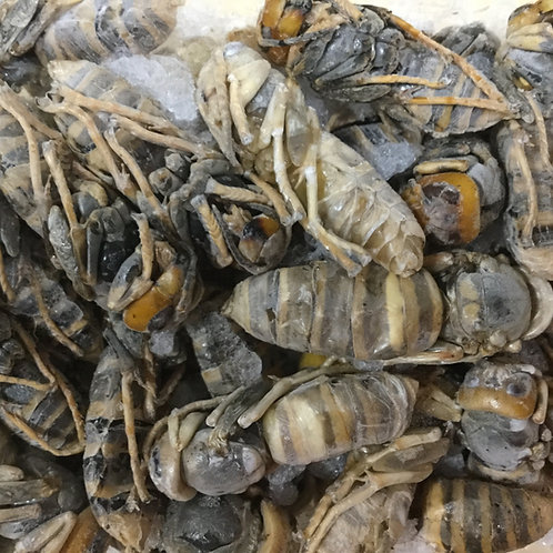 冷凍 オオスズメバチ 成虫 45g