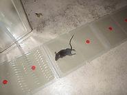 ネズミ捕獲.JPG