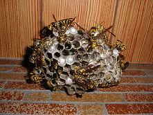 アシナガバチの巣.JPG