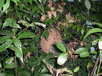 スズメバチの巣.JPG