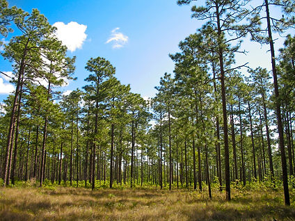 Longleaf-Pine.jpg