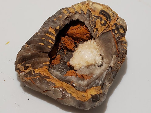 Fossilized Clam Specemin