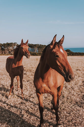 Photo of two brown horses in a field