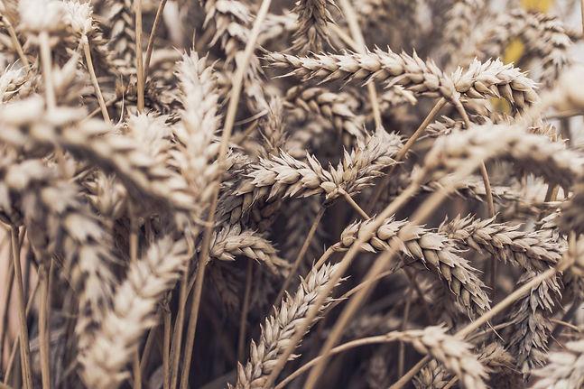 close up photo wheatfield