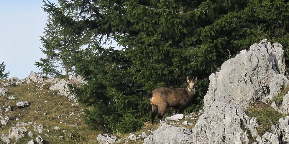 07 Nov. / Jura / Le Rut du Chamois / Chamois' Mating Season
