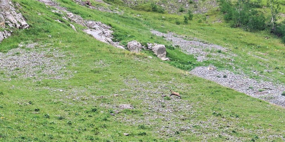 Le Rut du Chamois - Balade Automnale sur le Jura