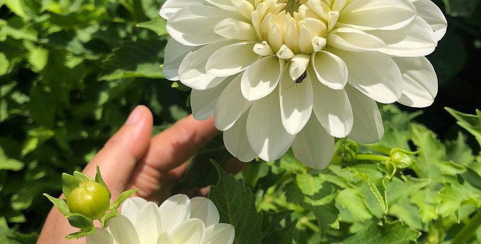 White Onesta dahlia tuber