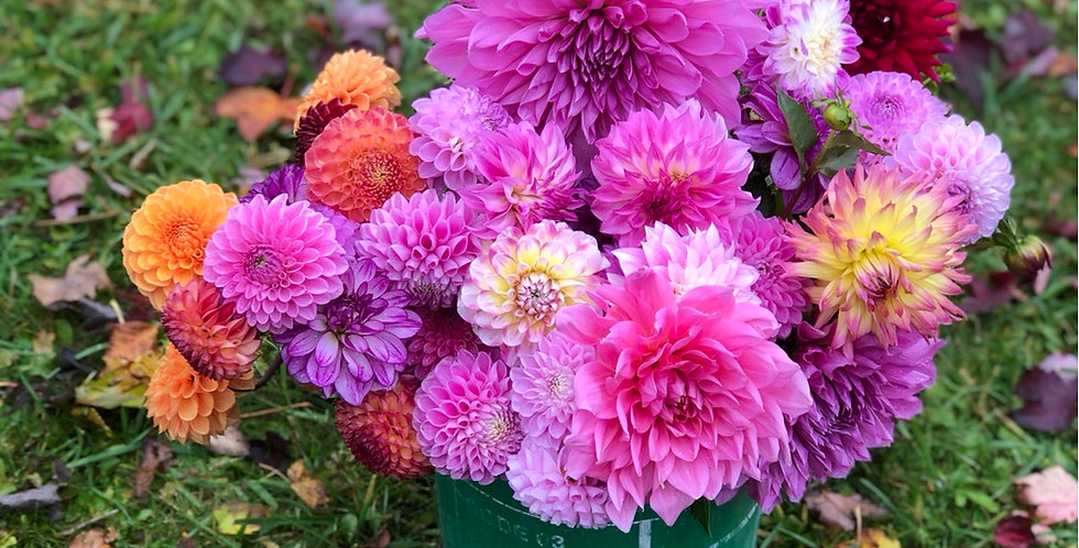 5 mystery dahlia tubers value pack
