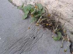 Plantes spontanées