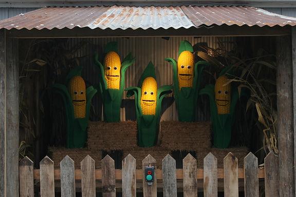 Corn at Farm2.JPG