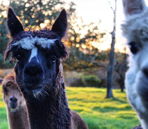 3 alpacas.jpg