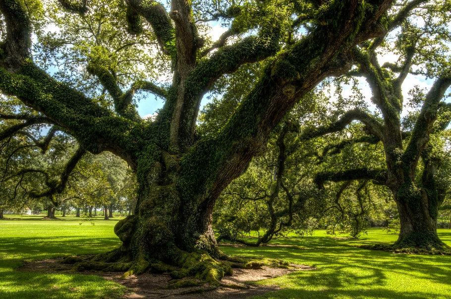 Oak Alley Tree