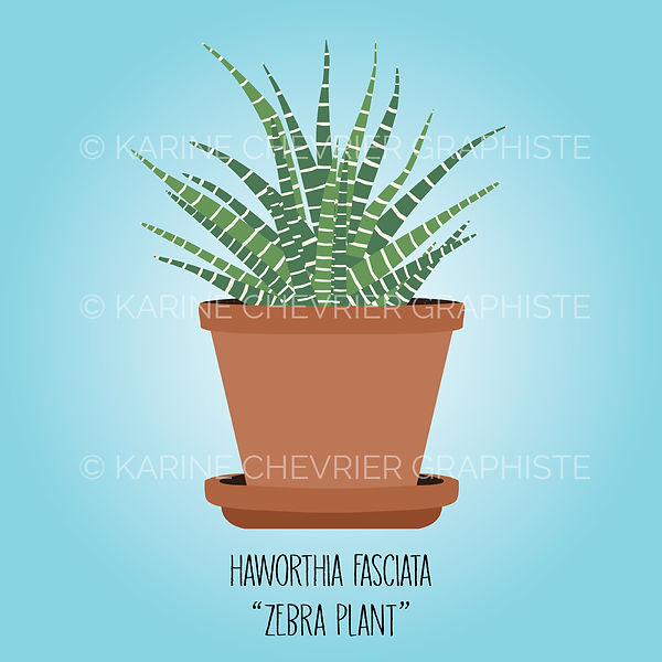 haworthia fasciata zebra plant illustration vector vectorielle plante d'intérieur Karine Chevrie Graphiste