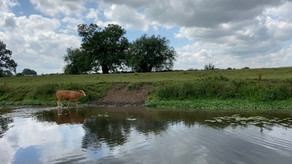 Cows taking a dip in the river
