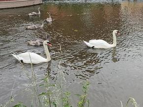 Swan parenting