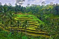 Bali-Risovyie-terrasyi-Tegallang.jpg