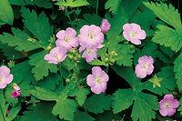 geranium-maculatum-cmyk-merv_3922.jpg