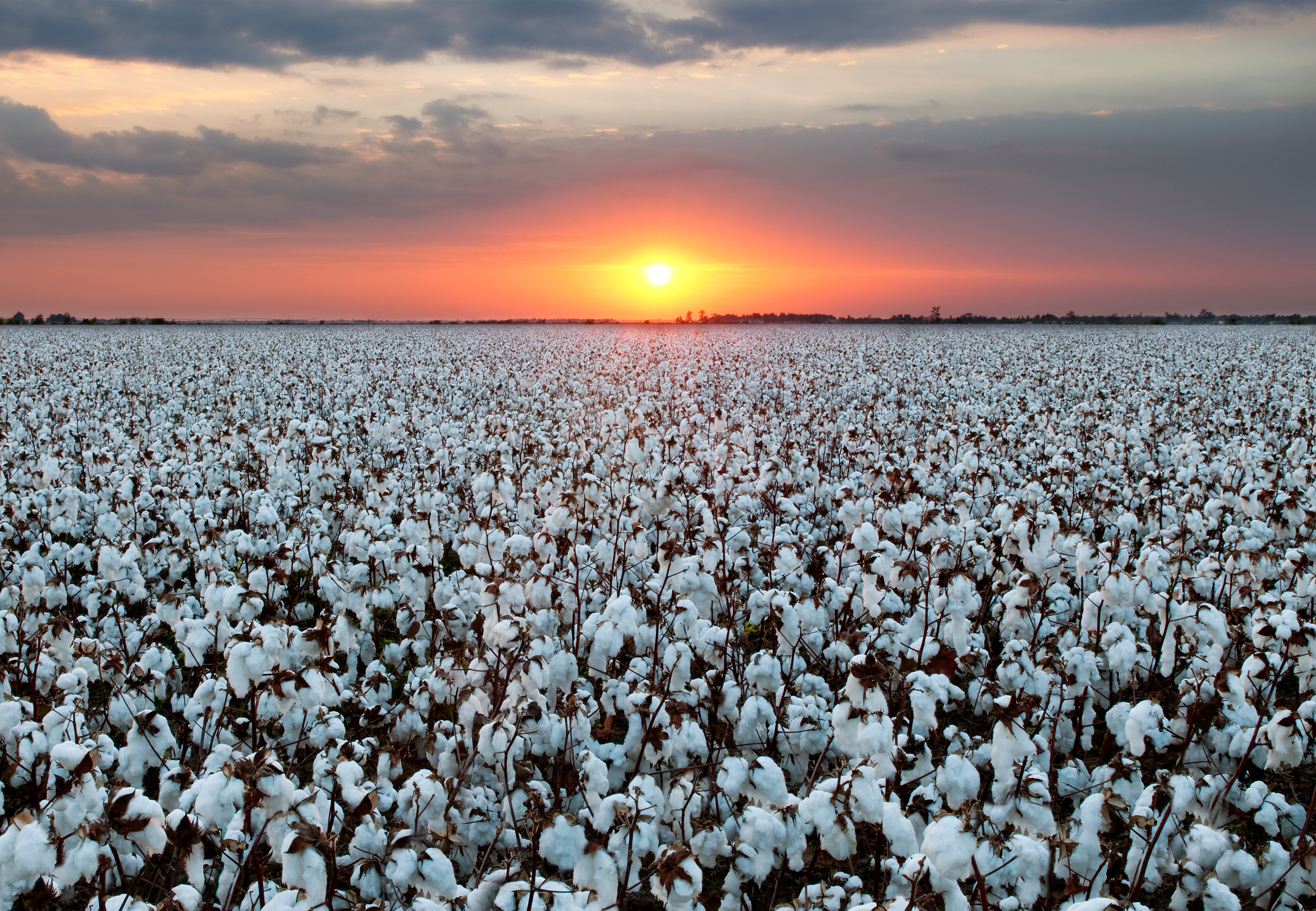 Cotton Field At Sunset.jpg