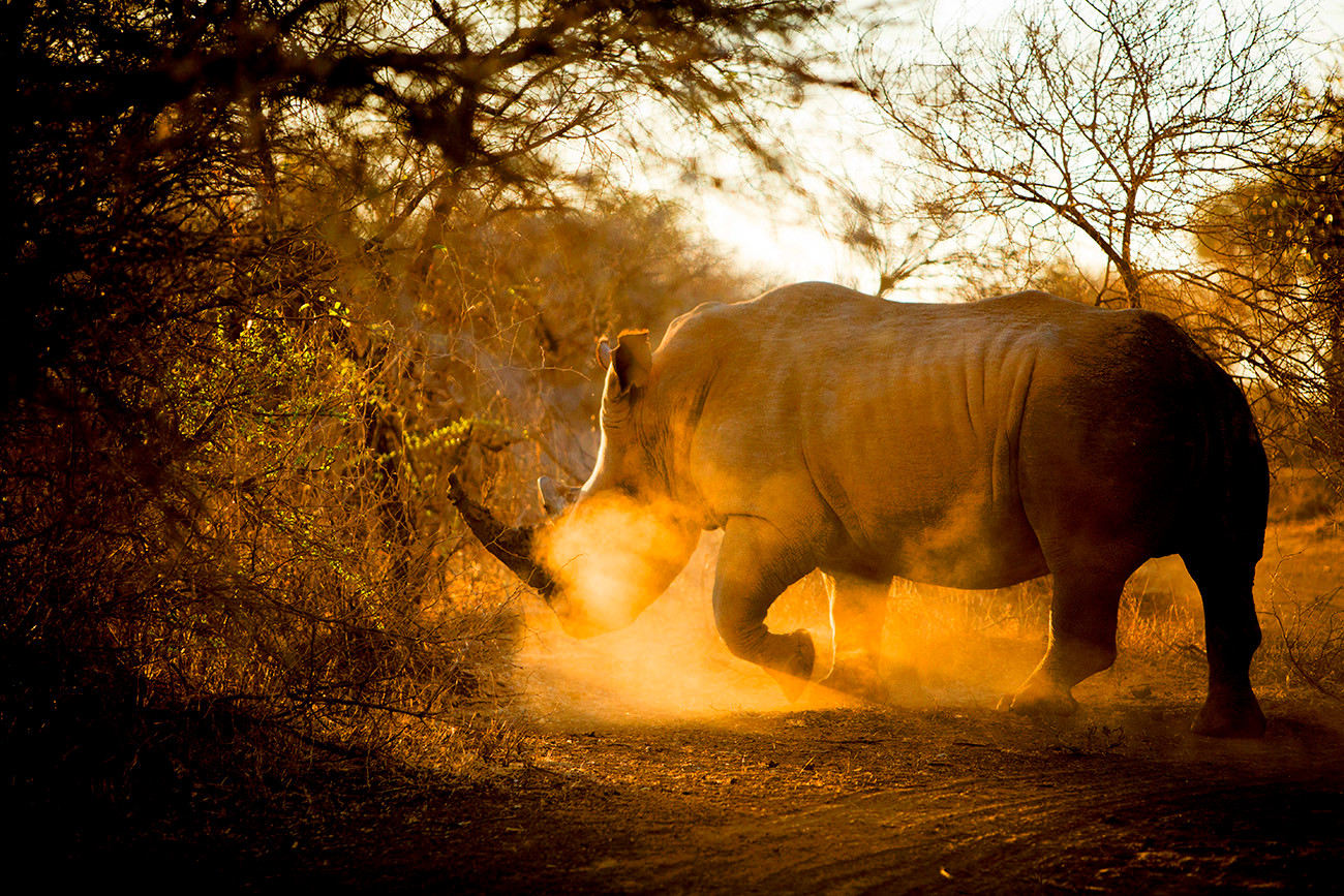 ANIMAL  The result of an immersion in the South African savannas.