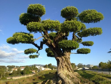 Comment planter un olivier centenaire ?