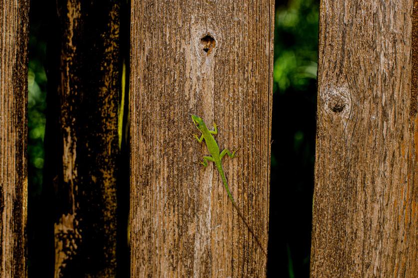 Gecko in Roatan Honduras 3.jpg