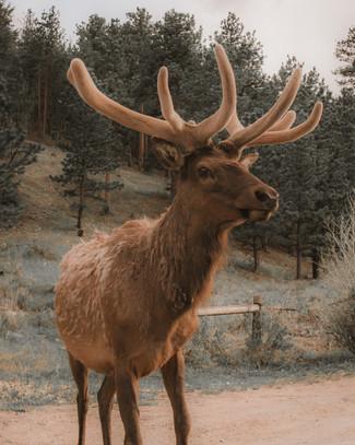 Estes Park Elk 3.jpg