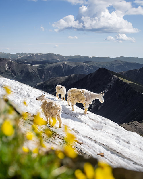 """Torreys Mountain Goat"""