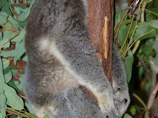 Kute Koalas