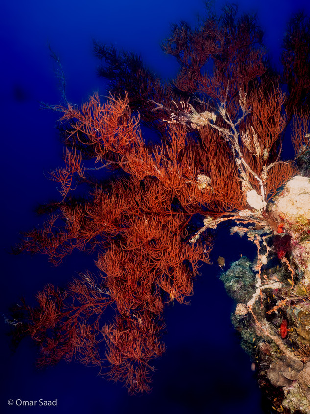 Red soft corals
