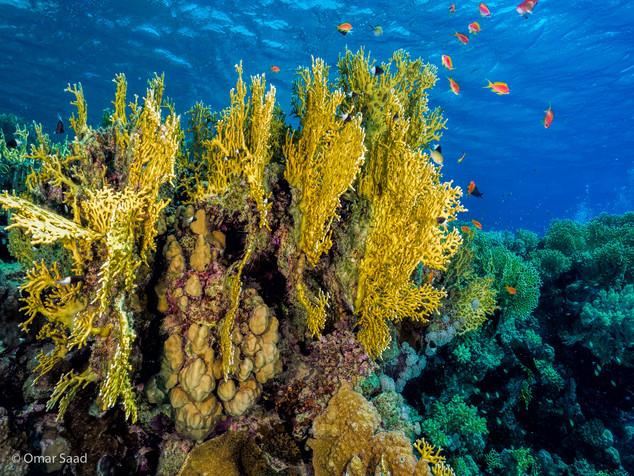 Fire corals
