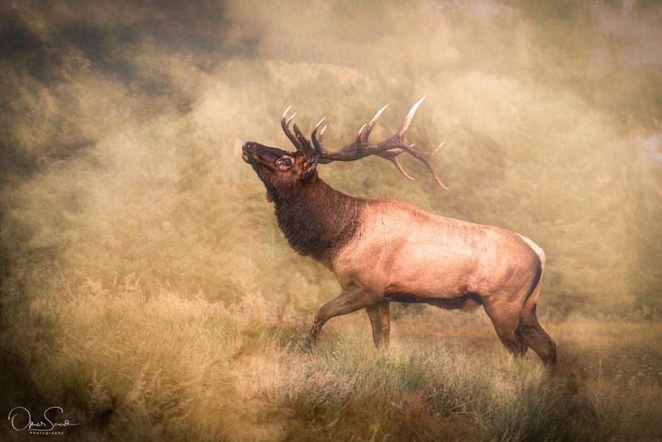 A Wapiti (Elk)