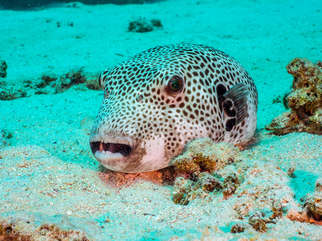 Buffer Fish