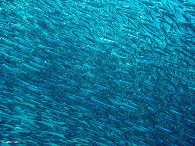 Sardine Colony