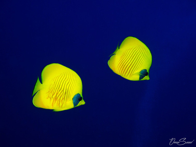 Blue masked butterflyfish