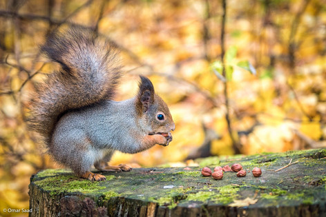 Red Squirrel of Seurasaari