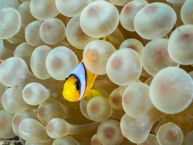 Baby clown fish