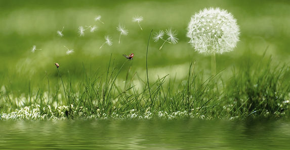 meadow_rush_grass_green_dandelion_plant_
